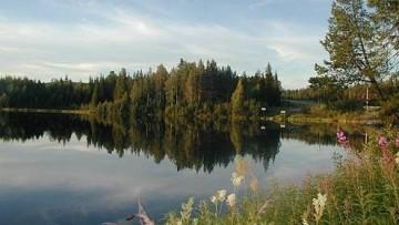 Scoperte specie di conifere scandinave risalenti all'era glaciale