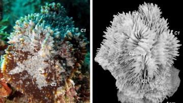 Il nuovo corallo scoperto da una ricercatrice italiana
