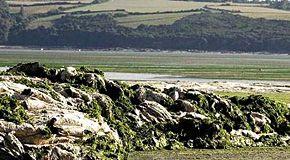 Le coste della Bretagna avvelenate dall'accumulo di alghe verdi