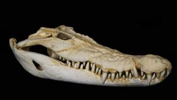 In un blocco di pietra ritrovato il coccodrillo più antico del mondo